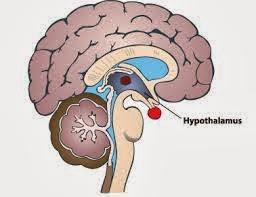The Hypothalamus and Weight Gain Connection